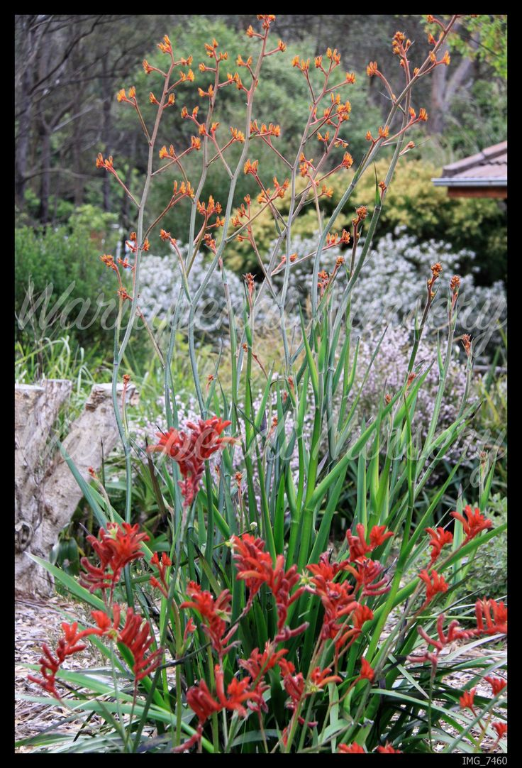 108 best australian native garden inspiration images on pinterest
