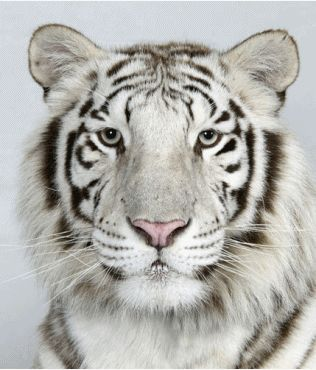 hahaha cheesy photo of a tiger
