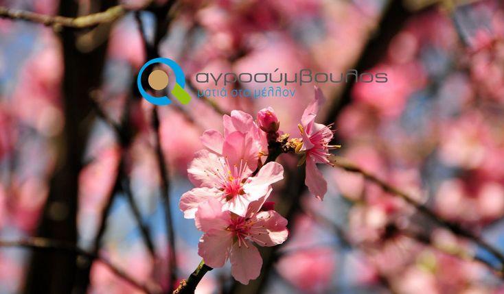 Καλλιέργεια Αμυγδαλιάς   almond tree