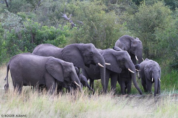 Elephants - Kruger National Park