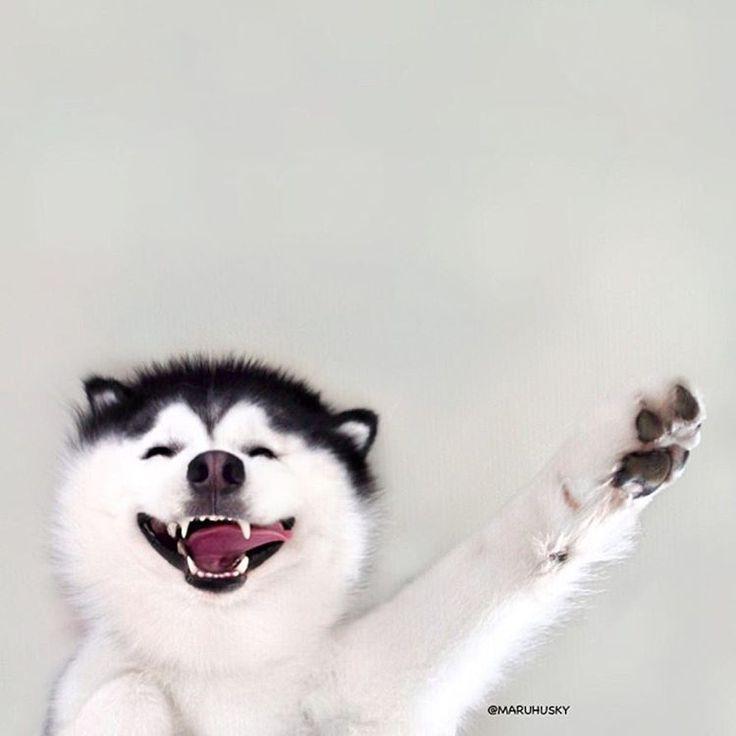 27 mejores imágenes de Husky en Pinterest | Perro siberiano ...