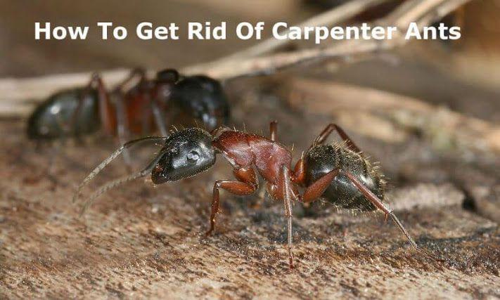 25 Best Ideas About Carpenter Ant Damage On Pinterest