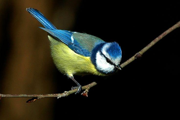 Chapim azul - Blue tit - Parus caeruleus   Flickr - Photo Sharing!