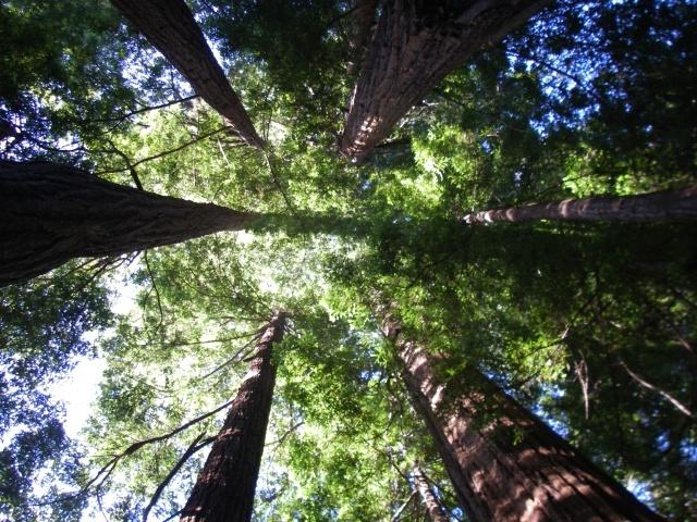 Muir Woods, Northern California