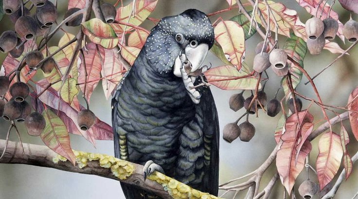 Black-Cockatoo.  Heidi Willis   Watercolor