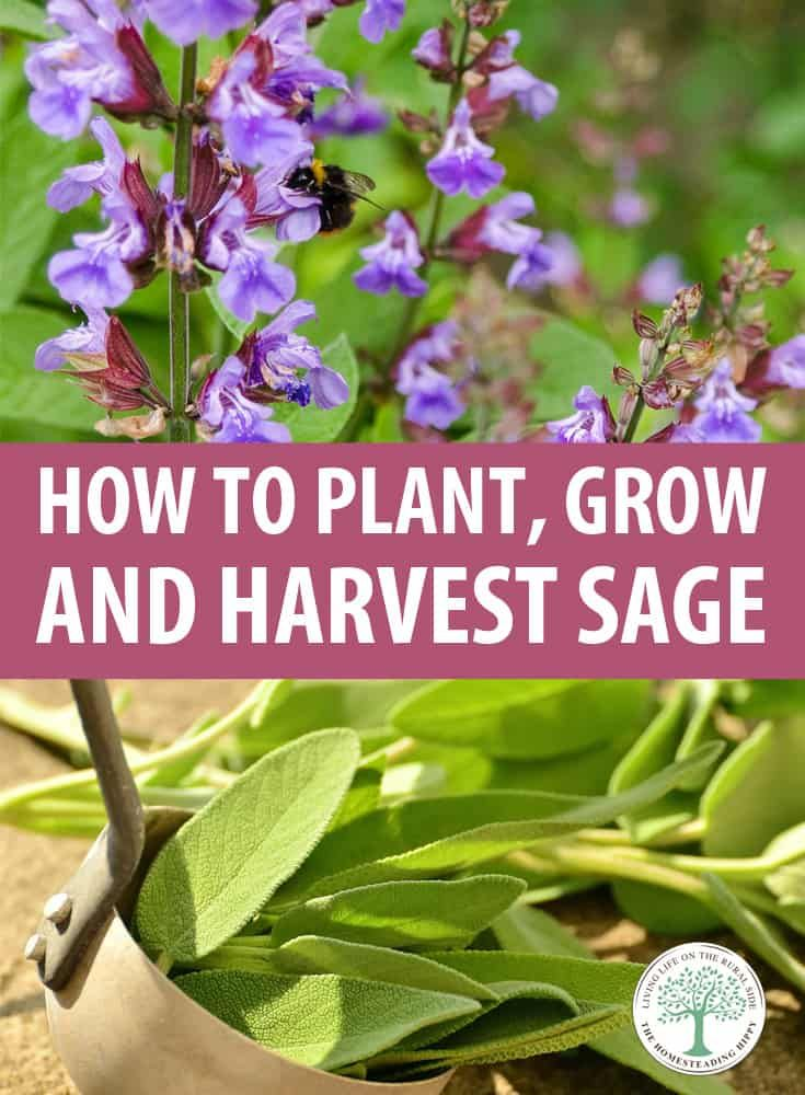 How To Plant Grow And Harvest Sage Sage Plant Plants Sage Herb