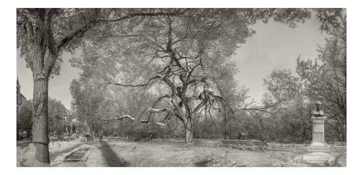 René Clement – Seasoned 2016, New York – From the series Seasoned. Hangman's Elm, Iep in Washington Square, 300 jaar oud, het verhaal gaat dat er aan deze boom verraders werden opgehangen tijdens de Amerikaanse burgeroorlog, Manhattan.  2016, New York – From the series Seasoned. Amerikaanse Iep, aan de rand van Central Park bij …