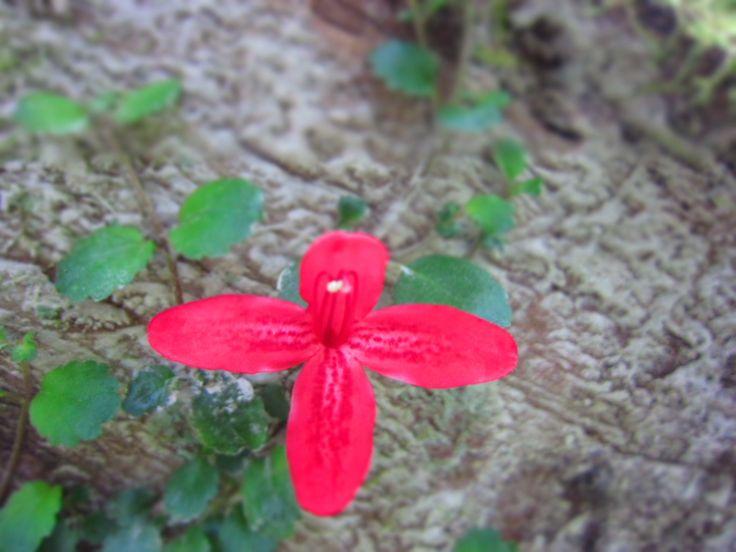 Asteranthera ovata... en Rancho Vaitea