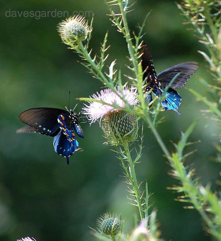 Pretty Pipevine Swallowtails!