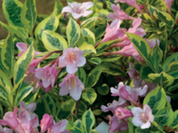 Weigela �Kolmagira�  First Editions� Rainbow Sensation PP
