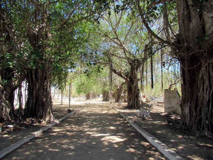 Banyan trees fill a park on Mozambique Island.