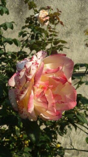 #Beautifulrose