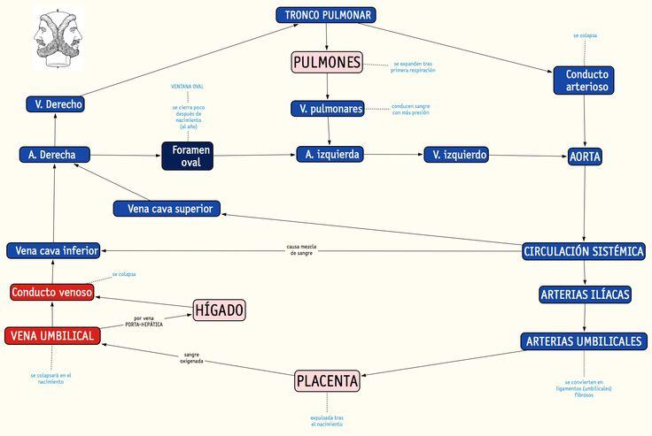 56 best mapas de conceptos y otros grficos biologa bach y secuencia de circulacin fetal los mensajes en azul celeste son los cambios que se producen fandeluxe Images