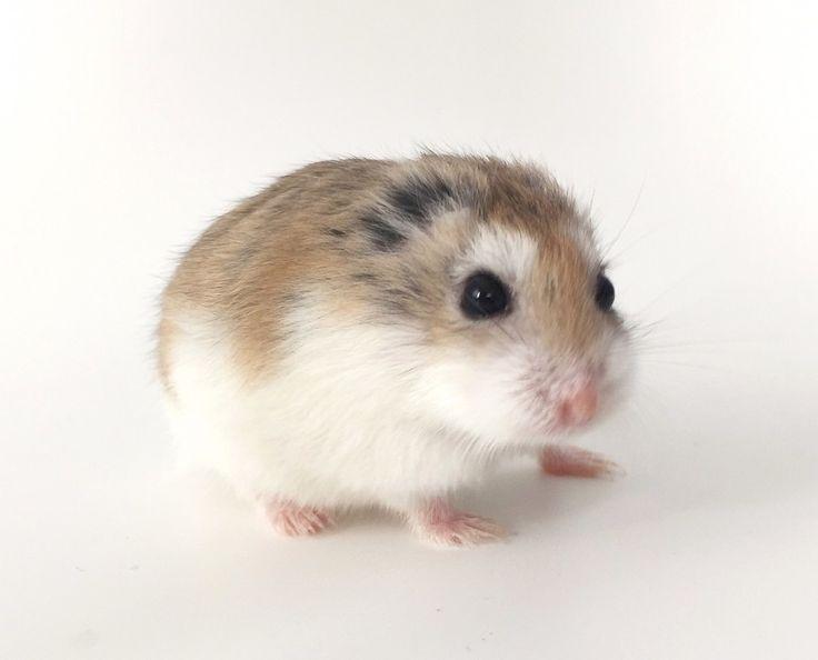 The story of a little earless hamster. Cute Dogs Breeds, Dog Breeds, Roborovski Hamster, Cute Hamsters, Cute Little Animals, Guinea Pigs, Photo Art, Ears, Photos