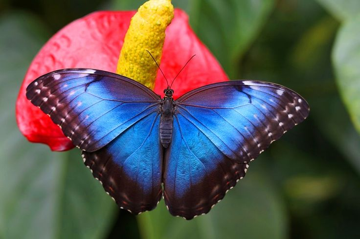 Morpho, ou Blue Morpho, uma das mais lindas e uma das maiores borboletas do mundo — pode medir até 15 centímetros.