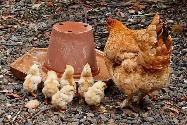Fantastis 17 Gambar Ayam Betina Bertelur Antara Lain Dengan Menjaga Kesehatan Badan Jangan Terlalu Gemuk Atau Gambar Kandangcom Di 2020 Ayam Betina Ayam Jantan Ayam