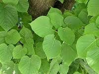 Kuvahaun tulos haulle puistolehmus tilia x vulgaris