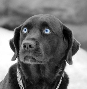 cute black lab puppies with blue eyes | Cute Baby Animals ...