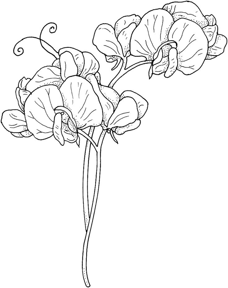 32 best drawing flower ideas images on pinterest sweet for Sweet pea coloring pages