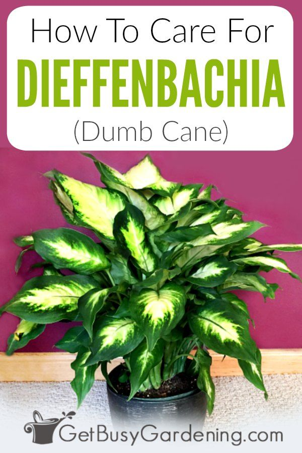 How To Care For ffenbachia (Dumb Cane) | Plants ... Names Of Ffenbachia House Plants on names of house buildings, names of dracaena plants, names of plants inside, names of dry plants, names of office plants, indoor plants, names of herbaceous perennials, names of different houseplants, scientific names of plants, names of gifts, names of unusual plants, names of flowers, names of landscape plants, names of elephant ear plants, names of hibiscus, names of seashore plants, names of climbers, names of fuchsias, names of house design, names of angel plants,