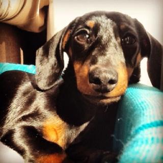 Pepa, Teckel, dachshund, perro salchicha, doxie