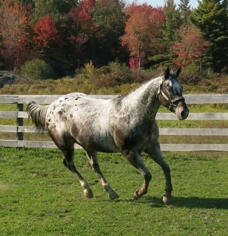 Kissed In The Dark, Appaloosa Mare in New York | Appaloosa Horses for Sale