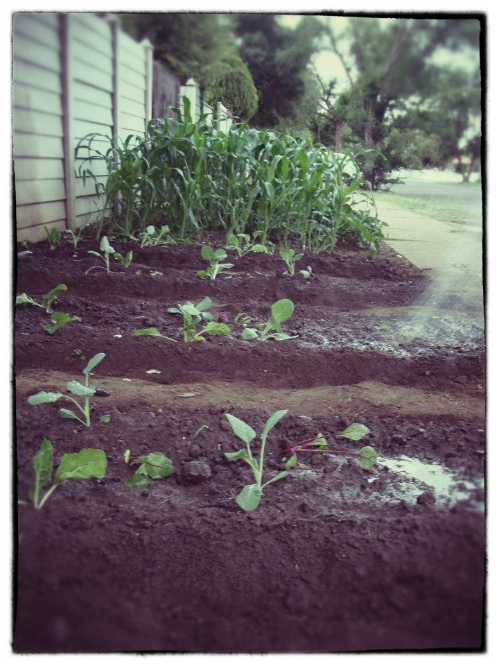 cabbage, spinach, squash, corn