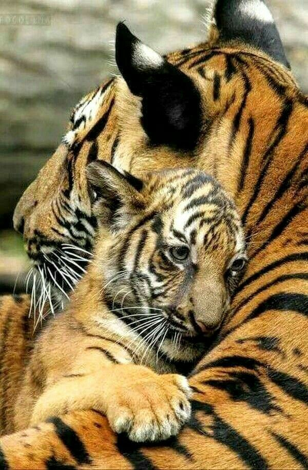 Safe In a Mother's Embrace Big cats, Animals