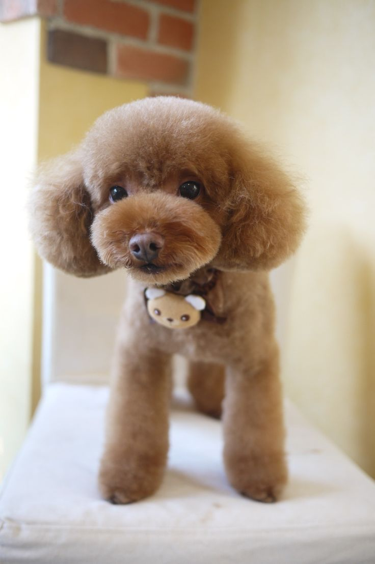 Style For Toy Poodles Teddy Bear Cut