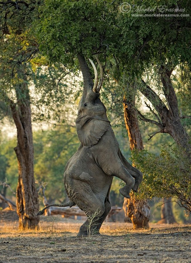 This elephants yoga moves put a whole new meaning behind tree pose! (Photo: Morkel Erasmus)