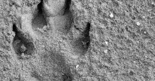 Resultado de imagen para huellas de animales