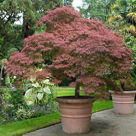 Japanese Maple, this isn't the nicest Japanese maple but i like the pot idea, and it lining a driveway or patio area.