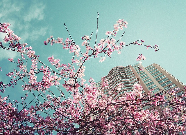 Cherry blossoms in #Vancouver, photo by Elizabeth Sarobhasa