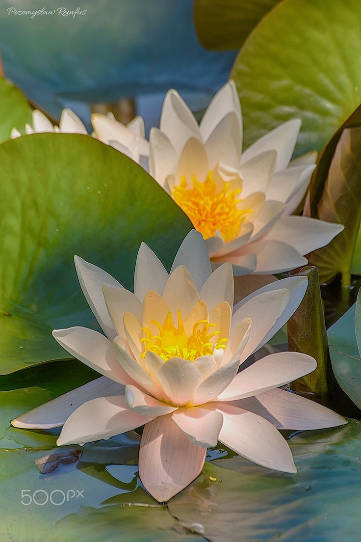 Water lily. - null