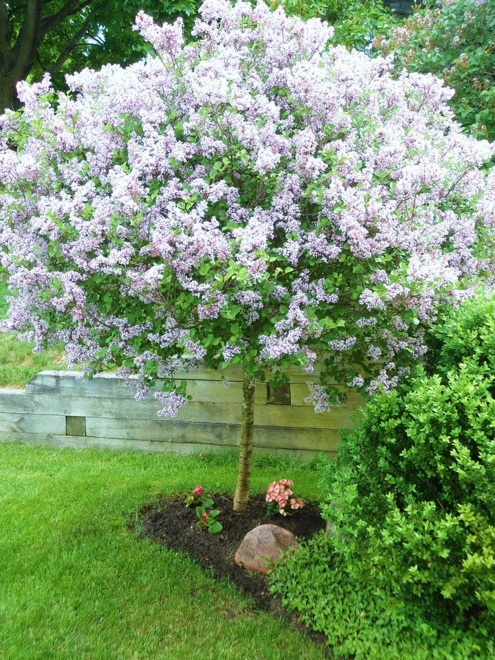 Lilac Tree Planted A White One Like This It Produced To Large Flower Bracts Year Hope Can Stand Our Oklahoma Heat Anyone