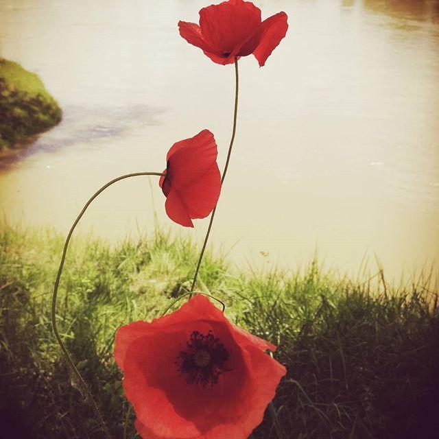 #poppy #red #river #summer #sundaymood #instadaily