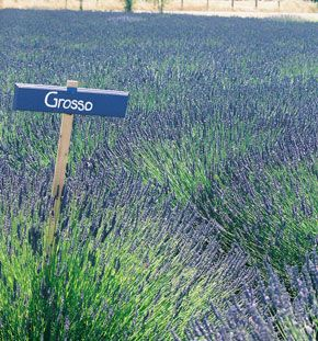 I want to grow organic lavender in my garden in Texas. This is a great organic nursery in Austin with helpful posts for organic gardening.