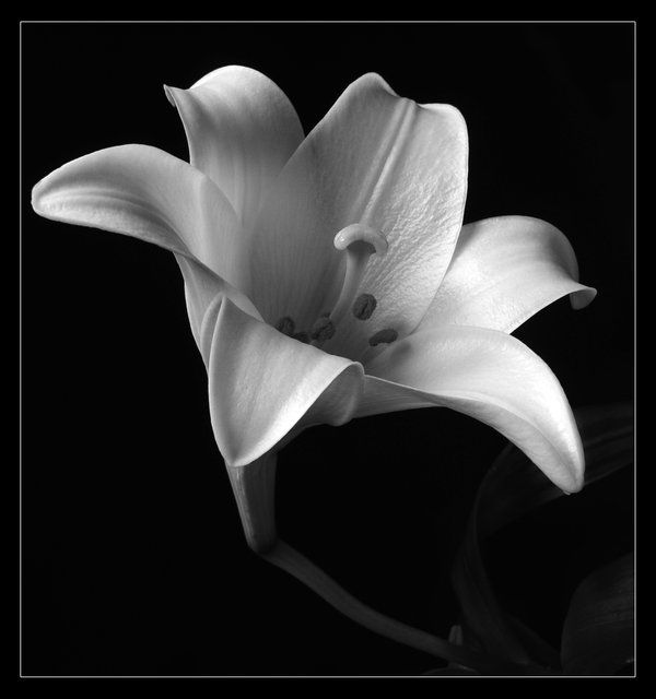 White Lily by digitaldreamz666 on DeviantArt