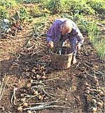Starting a market gardening business from the ground up, includes how to grow and sell produce for profit, garden size for market, where to sell your produce and planning planting dates.