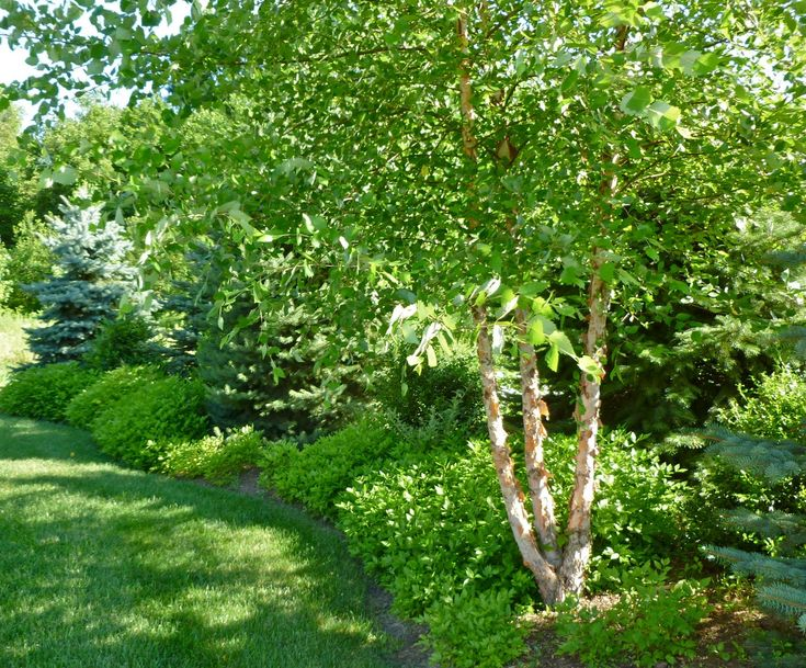 Betula Nigra River Birch Tree