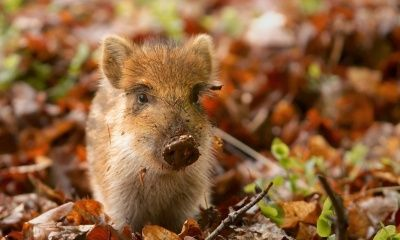 Wild Boar Piglet, Netherlands (click to view)