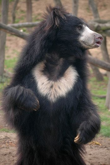 #SouthKorea....YOU MURDERING PSYCHOPATHS....DAMN DAMN DAMN Sloth Bears Confirmed Extinct in Bangladesh