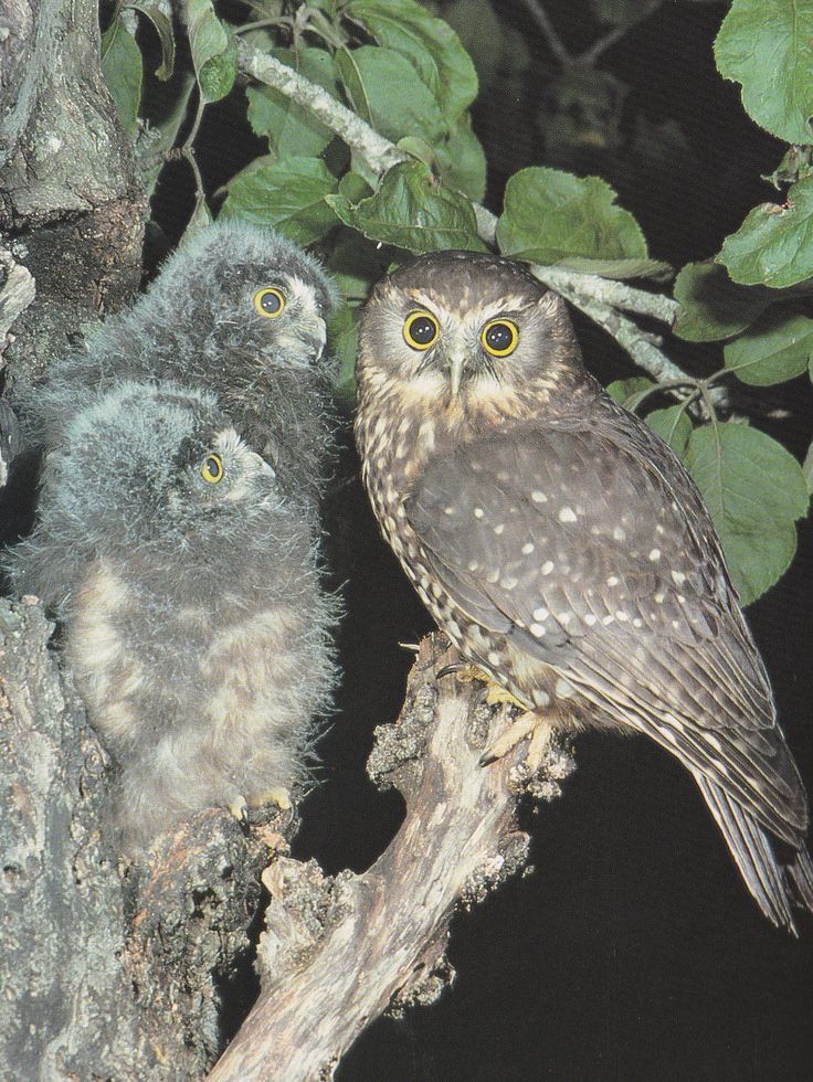 A morepoke with it's chicks. Ancestral guardian spirits were often thought to take the form of an owl. These special birds were usually seen in times of trouble. They made themselves known by their bold behaviour.