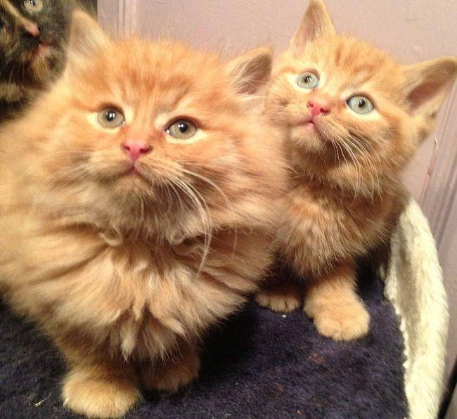 orange ragdoll cat gallery Cat Pinterest Ragdoll