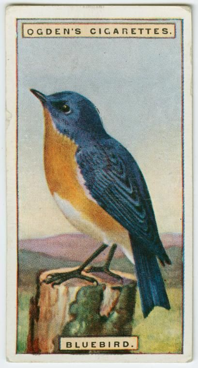Bluebird (Sialia sialis). From New York Public Library Digital Collections.