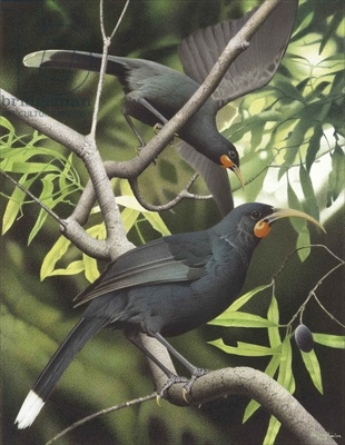 Huia, illustration from the series 'Extinct Birds of New Zealand' (colour litho)