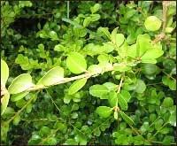 Kiwi Hedge