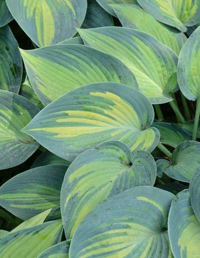 Funkia, Hosta 'June', 35 cm hög. Fint variegerade blad i blågrå och gulgrönt, lila blommor. Ganska anspråkslös vad gäller jord, klarar lite torrare lägen. Halvsskugga. snigelsäker