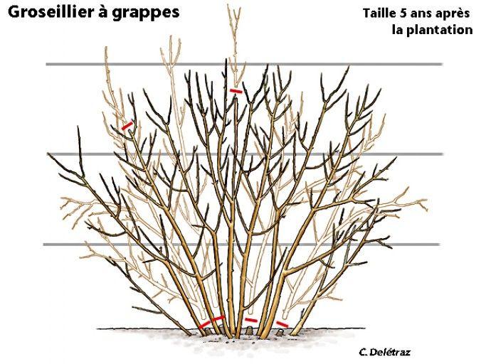 quand et comment tailler les groseilliers jardinage pinterest tiges le sol et faut. Black Bedroom Furniture Sets. Home Design Ideas