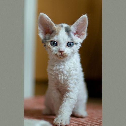 Sitting Flower  ---  such an adorable Devon Rex kitten!!! :)